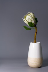 Close-up white king protea flower in minimalistic ceramic vase on gray background, selective focus
