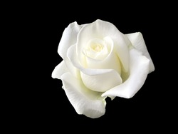 close up white rose isolated on black background