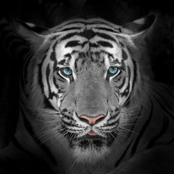 Close up White tiger face, isolated on black background.