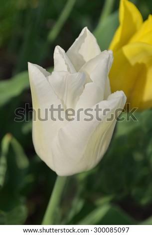 Close up  white  tulip. White tulip in the garden