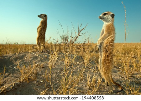 Close up wide angle image of Meerkat pair standing alert in natural environment