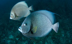 Close up wide angle shot up two Gray Angelfish swimming over a reef.