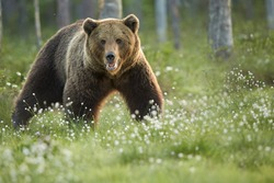 Close up  wild, big  Brown Bear, Ursus arctos, male staring directly at camera. Arctic meadow with flowering grass lit by early morning colorful light. Wildlife,  taiga biodiversity. Russia border.