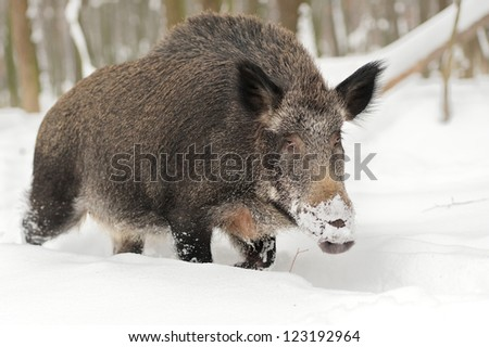 Close-up wild boar in winter forest