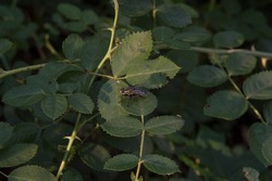 close-up: wild rose stem with thorns and a big flesh fly on it