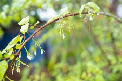 Close-up Wild Water Plum ,White flowers with water droplets on tree branch
