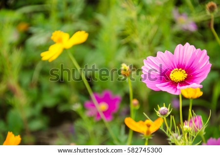 Close up Wildflower Cosmos flora while sunset at Singha Park Chiang Rai Thailand.