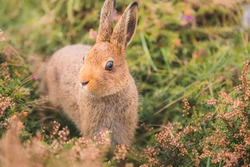 Close-up wildlife portrait of a cute European Rabbit (Oryctolagus cuniculus) on high alert in the heathland of the Dingle Peninsula in Ireland in Spring.