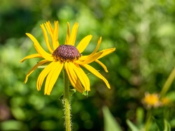 Close up with a single isolated Rudbeckia hirta, commonly called black-eyed Susan on green blurred background.