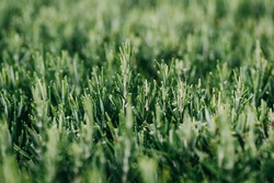 Close up with details of rosemary. Individual rosemary needles. Shallow depth of field