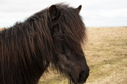 Close up with Icelandic Horse