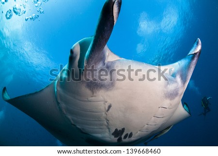 Close up with manta ray with a nice view of the sky in maldives