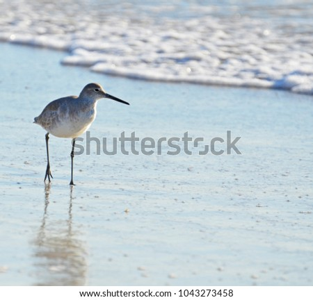 Close up with room for copy on right of American short-billed dowitcher sandpiper to left, hunting the shore of blue surf and white sea foam, sunlit front with long shadow of slightly lifted leg. #1043273458
