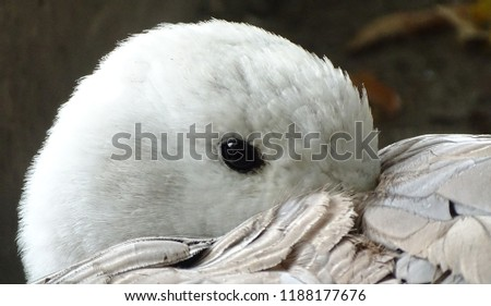 Close up with the white goose, colorful, cleaning its feathers - bird at the zoo / yard #1188177676