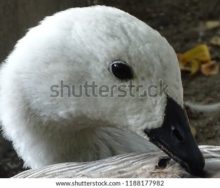 Close up with the white goose, colorful, cleaning its feathers - bird at the zoo / yard #1188177982