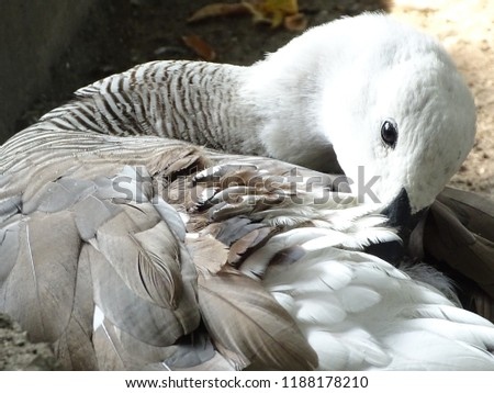 Close up with the white goose, colorful, cleaning its feathers - bird at the zoo / yard #1188178210