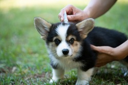 Close up woman applying tick and flea prevention treatment and medicine to her corgi dog or pet