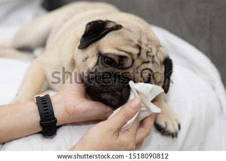 Close up woman hand clean and wash dog nose pug breed for cleanning around nose skin by tissue,Dog Care Concept