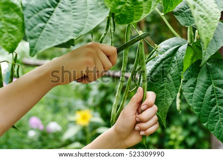 Close up woman hands harvesting beans #523309990