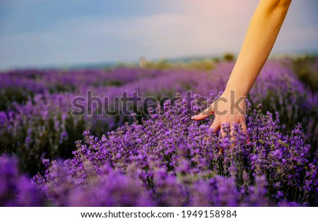 Close up woman's hand in the lavender flowers on a lavender field. Foto stock ©