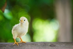 Close up yellow chick on the wooden floor or table on the farm and on nature or green background for concept design and decprative, Beautiful yellow little chicken or newborn yellow chicken