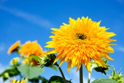 Close up yellow double sunflower under blue sky