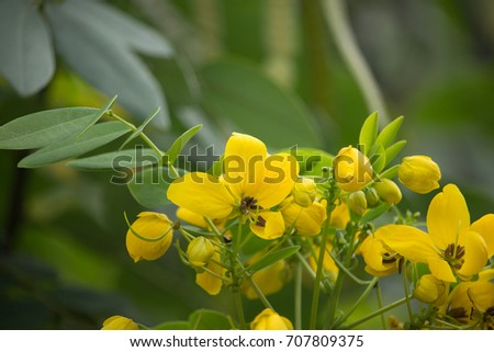 Close up yellow flower of thai copper pod or cassod tree ez canvas close up yellow flower of thai copper pod or cassod tree mightylinksfo