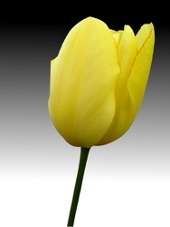 close up yellow tulip on gradient background