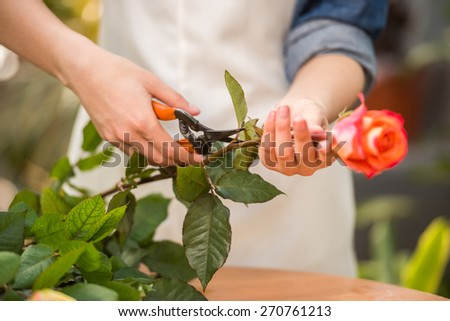 Close-up. Young female florist pruning rose in flowers shop.