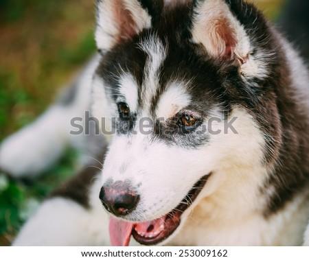 Close Up Young Happy Husky Puppy Eskimo Dog Face