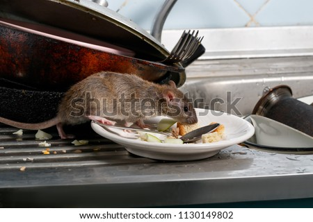 Close-up young rats (Rattus norvegicus) sniffs leftovers on a plate on sink at the kitchen. Fight with rodents in the apartment. Extermination. - Shutterstock ID 1130149802