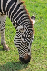 close up, zebra head eating grass