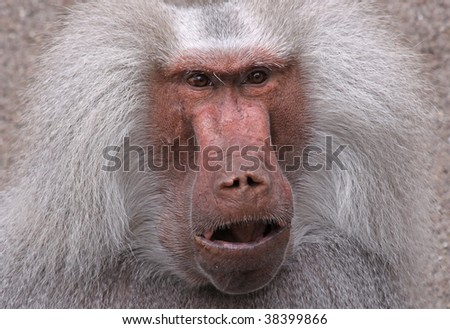close-upof an old male baboon
