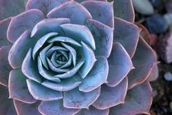Close-ups blue fresh Succulent echeveria plant - Texture background - blue nature concept , Floral backdrop and beautiful detail - Flat lay
