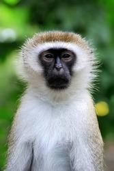 Close vervet monkey in National park of Kenya, Africa