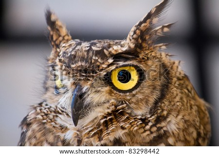 Close view detail of a Spotted Eagle-owl (Bubo africanus).