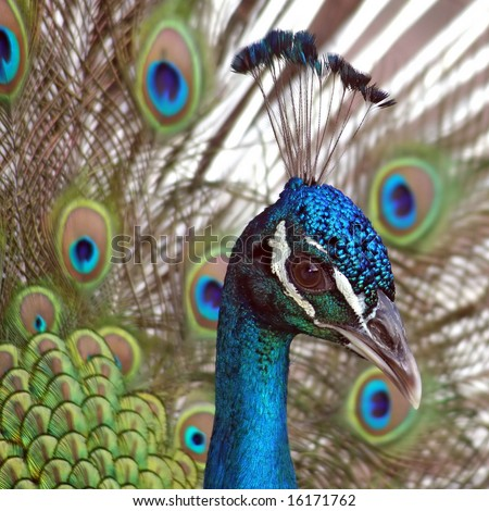 Close view of a beautiful, displaying male peacock - stock photo