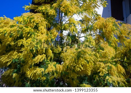 Close view of a branch of a yellow acacia tree over a blue sky. Intense and bright yellow flowers. Spring composition with mimosa flowers. 8 March Women's Day concept, copy space.