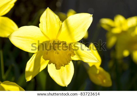 close view of a colorful narcissus