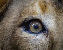 Close view of a male Lion Eye