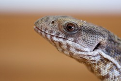 Close view of a monitor lizard's head.
