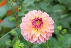 Close view of a white pink flower dahlia
