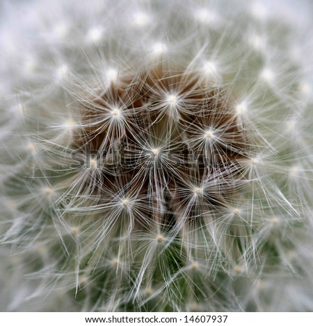 Close view of a wind dandelion