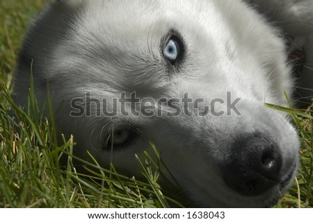 close view of an Husky dog  or Eskimo dog in the grass