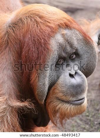 close view of an old male Orangutan 02