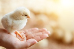 Close view of baby chick in girl's hand
