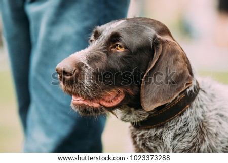 Close View Of Black German Wirehaired Pointer Dog. #1023373288
