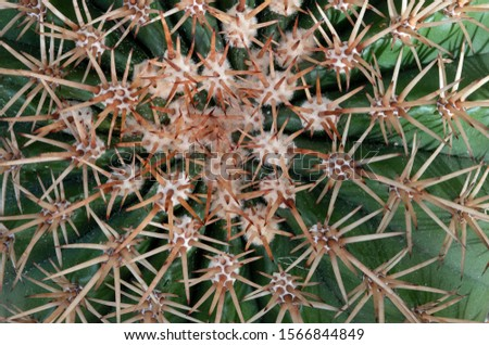 Close view of cactus spines. Sharp spines help protect the plant from herbivores.