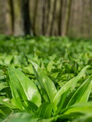 Close view of fresh green herbs leaves. Wild plant bearsgarlic hidden in forest. Harvesting of important spicy smell herb full of vitamins.