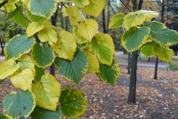 Close view of green and yellow autumnal leafage of linden tree in October
